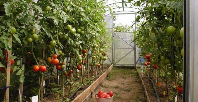 Як прискорити дозрівання томатів у теплиці: поради та способи