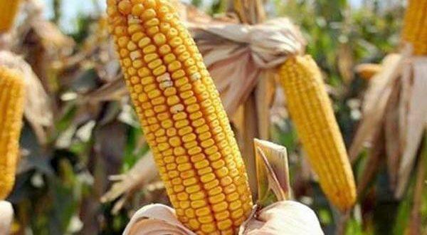 Як відрізнити кормову кукурудзу від харчової