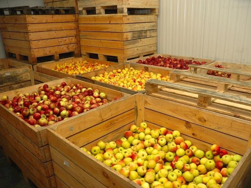 хранение яблок в холодильной камере